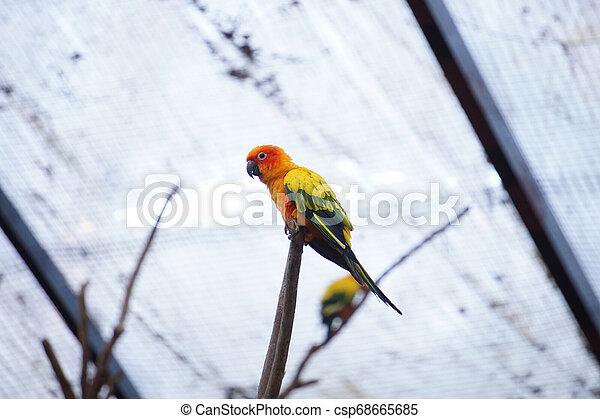 The yellow parrot bird sun conure on the branch. - csp68665685