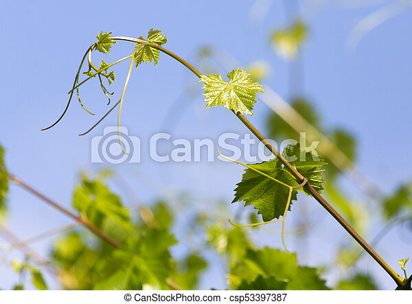 the young leaves of the grape on a background of blue sky - csp53397387