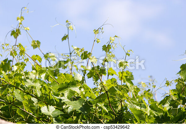 the young leaves of the grape on a background of blue sky - csp53429642