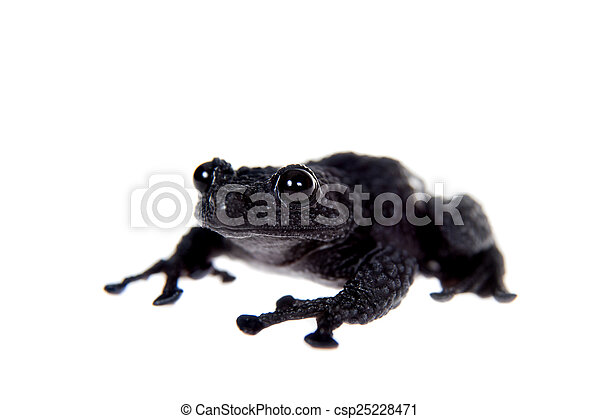 Theloderma ryabovi, rare spieces of frog on white - csp25228471