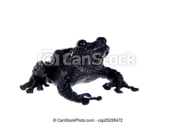 Theloderma ryabovi, rare spieces of frog on white - csp25228472