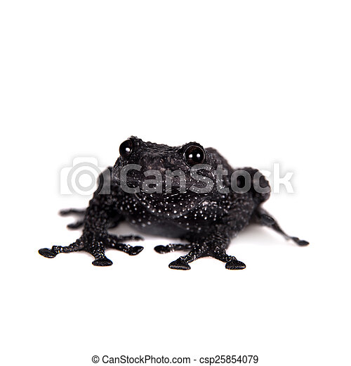 Theloderma ryabovi, rare spieces of frog on white - csp25854079