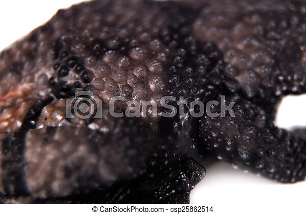 Theloderma ryabovi, rare spieces of frog on white - csp25862514