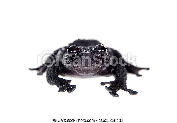 Theloderma ryabovi, rare spieces of frog on white - csp25228481