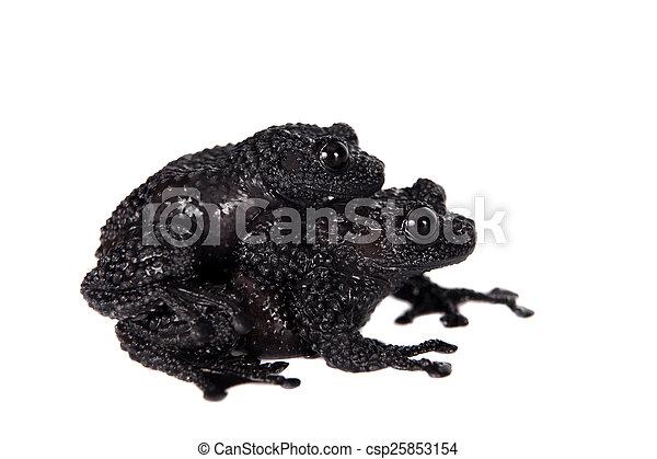 Theloderma ryabovi, rare spieces of frog on white - csp25853154