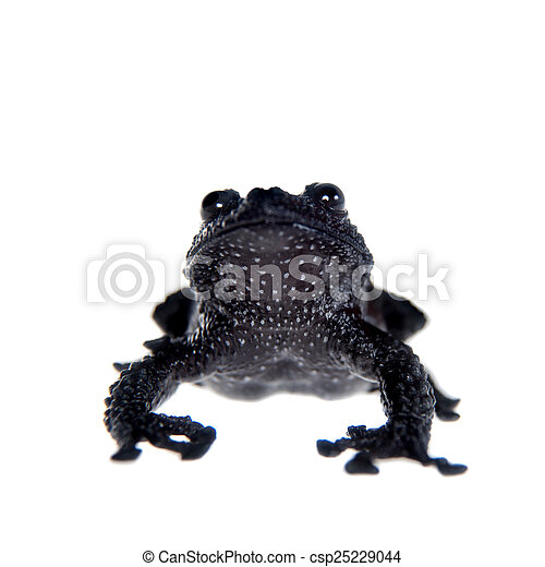 Theloderma ryabovi, rare spieces of frog on white - csp25229044