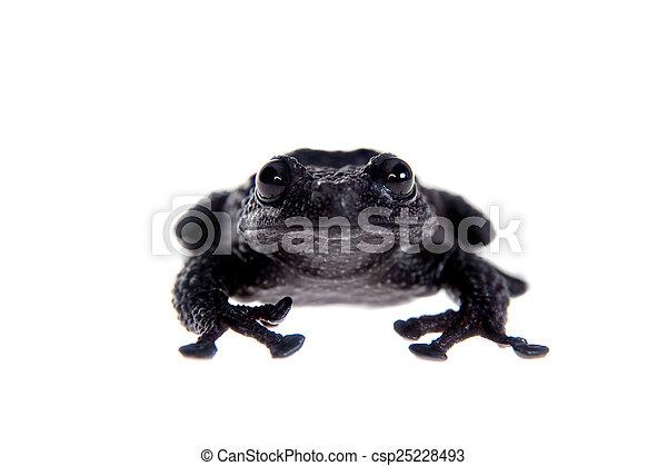 Theloderma ryabovi, rare spieces of frog on white - csp25228493