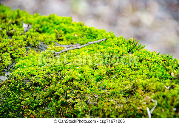 Thick green moss settled on a tree trunk. Forest on a tree trunk. - csp71671206