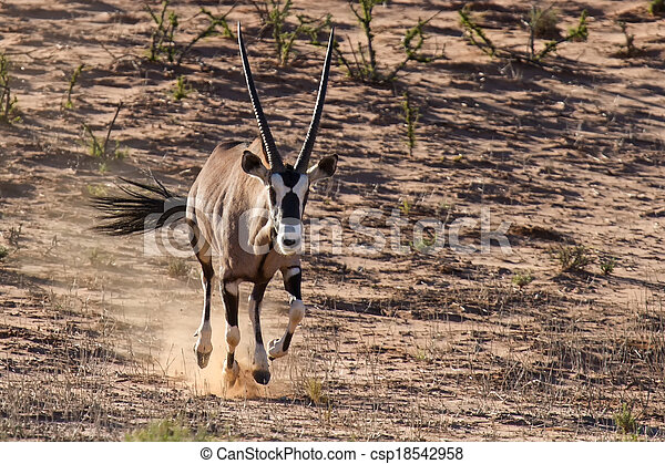 Thirsty and hungry oryx come running down a dune in the late afternoon sun - csp18542958