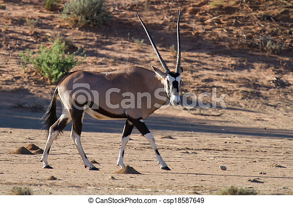 Thirsty and hungry oryx come running down a dune in the late afternoon sun - csp18587649