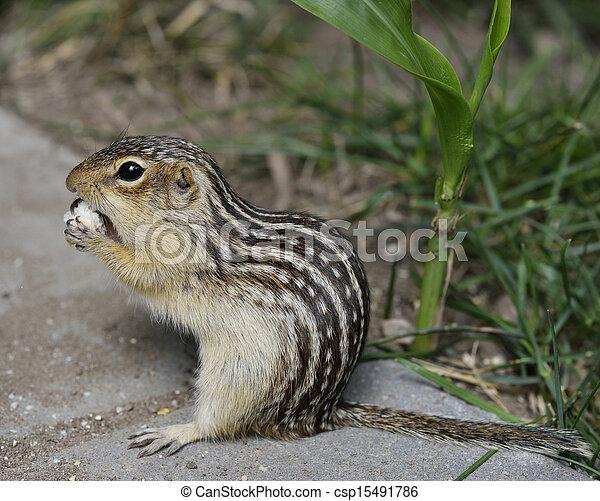 Thirteen-Lined Ground Squirrel - csp15491786