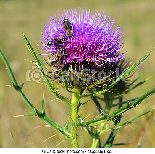 Thistle and bees - csp33091555