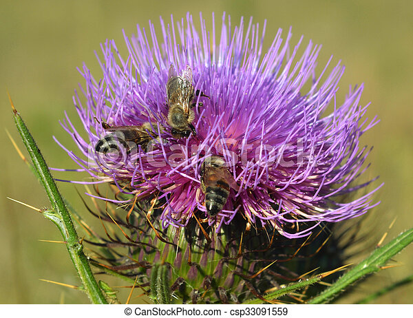 Thistle and bees - csp33091559