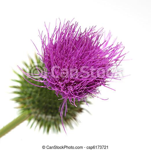Thistle flower single thistle flower isolated on white background thistle flower csp6173721 mightylinksfo
