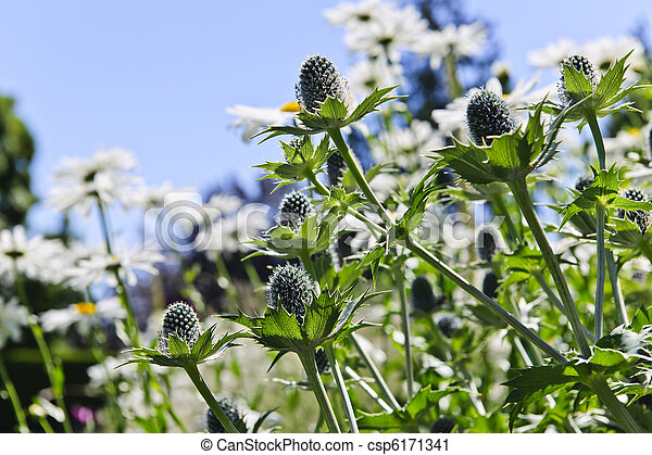 Thistles And Daisies In Garden   Csp6171341