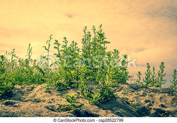 Thistles in dry sand - csp28522799