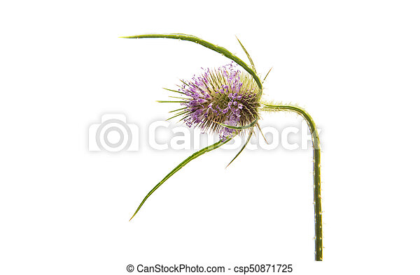 Thistles isolated - csp50871725