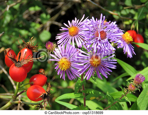 Thornhill rosehip and purple daisies 2017 - csp51318699
