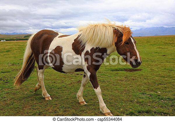Thoroughbred Icelandic horse grazing in the field - csp55344084