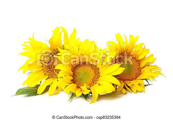 Three beautiful sunflowers isolated on white background - csp83235394