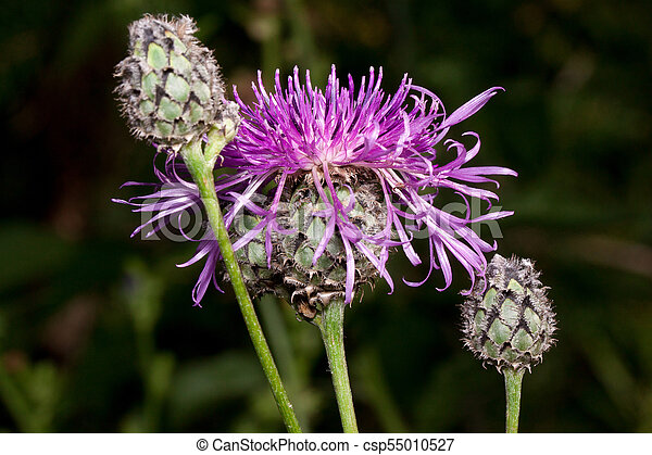 Three beautiful thistle flower are growing on a green meadow. Live nature. - csp55010527