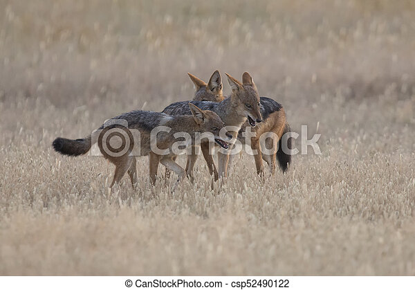 Three Black Backed Jackals playing in Kalahari on a plain - csp52490122