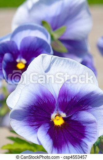 Three blue yellow white pansies on bright background three blue yellow white pansies csp4553457 mightylinksfo
