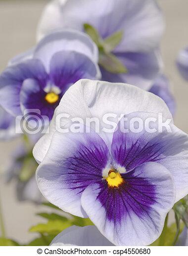 Three blue yellow white pansies on bright background three blue yellow white pansies csp4550680 mightylinksfo