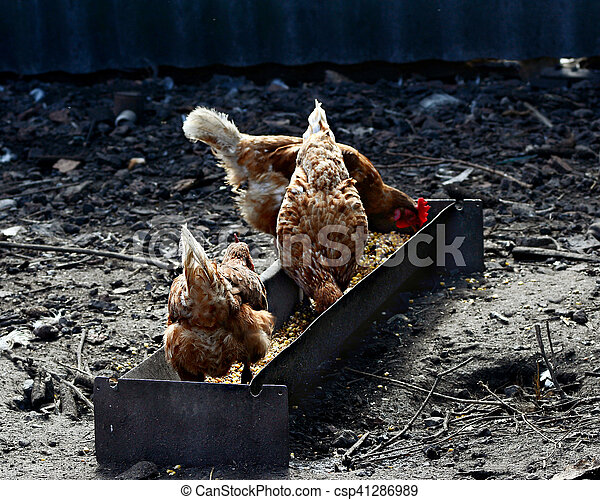three brown hens eat the grain out - csp41286989