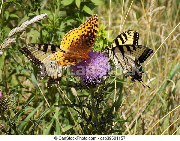 Three Butterflies on a Pink Thistle - csp39501157
