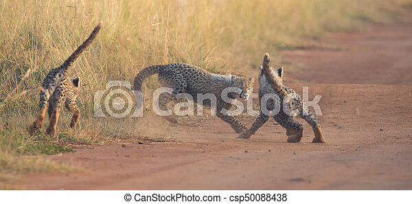 Three Cheetah cubs playing early morning in a road - csp50088438