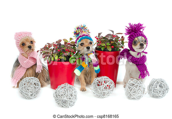 Three chihuahua dogs with Christmas items - csp8168165