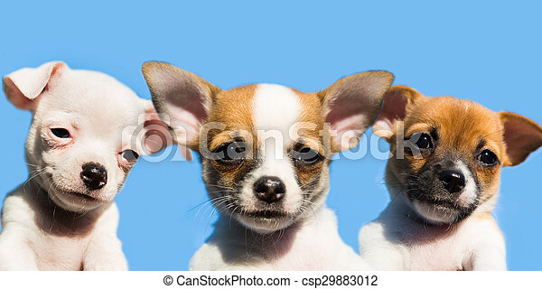 Three Cute Chihuahua Puppies In A Row With A Blue Sky In The Background