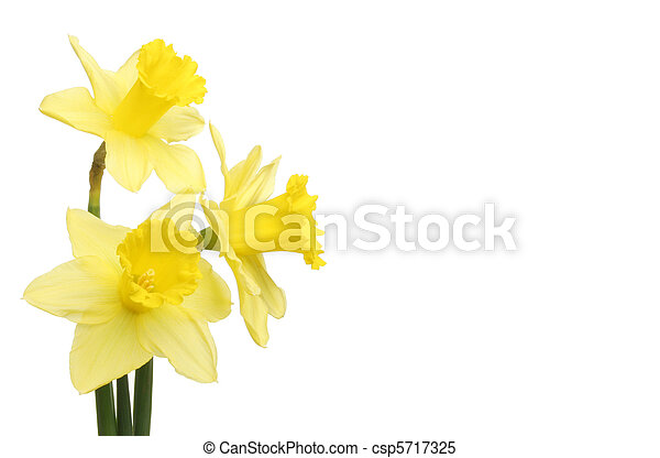 Three daffodil flowers - csp5717325