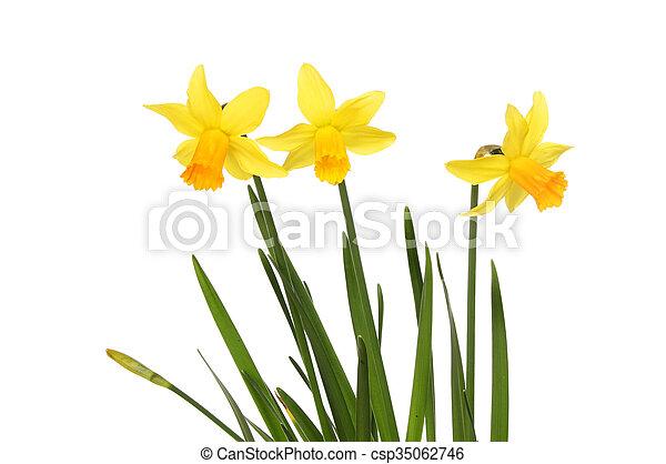 Three Daffodil flowers - csp35062746