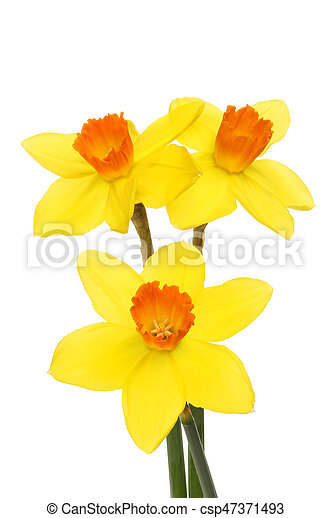 Three Daffodil flowers - csp47371493