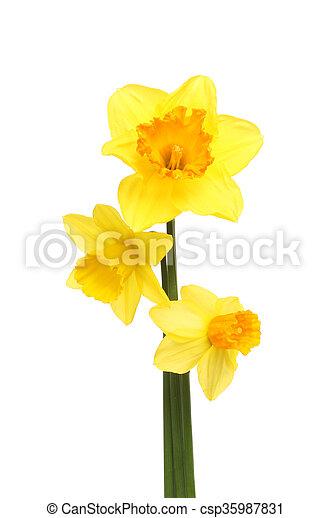 Three daffodil flowers - csp35987831