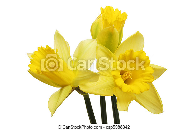 Three daffodils - csp5388342