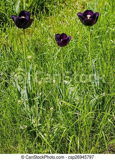 three dark purple tulips in the grass