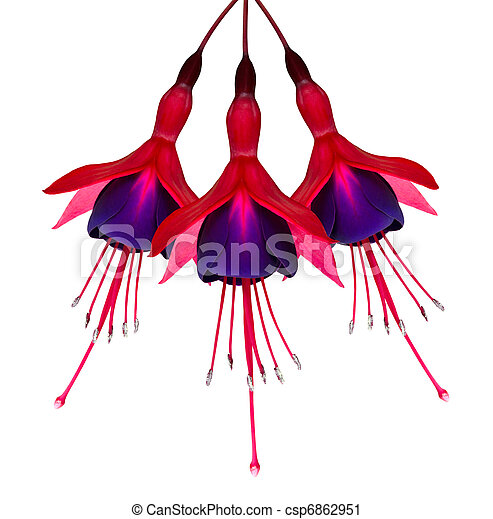 Three Fuchsia Flowers Isolated on White - csp6862951