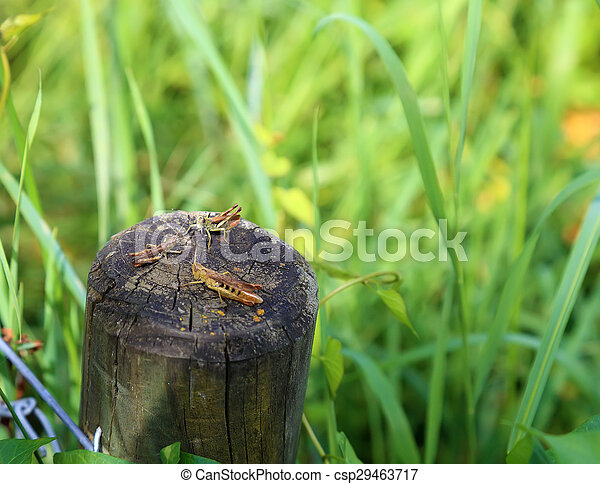 Three geasshopper together sitting on a wooden post at the meadow. - csp29463717