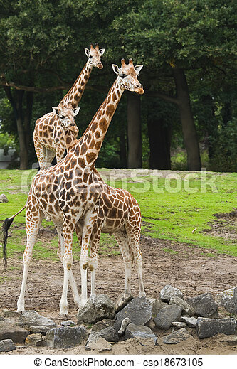 Three giraffes - csp18673105