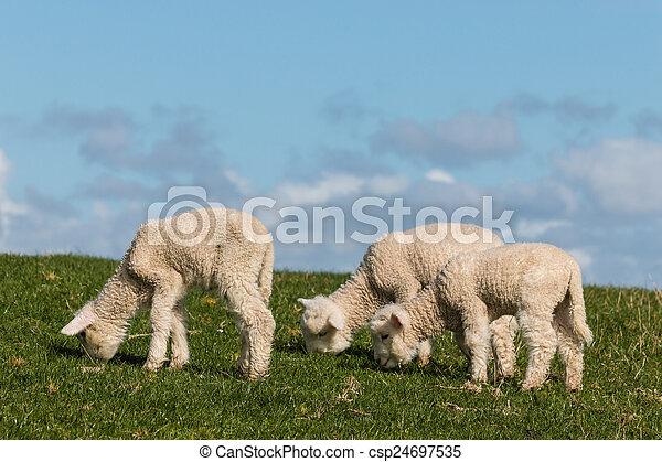 three grazing lamb - csp24697535