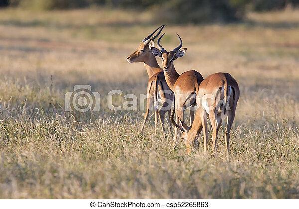 Three impala rams feed on a grassy savannah - csp52265863