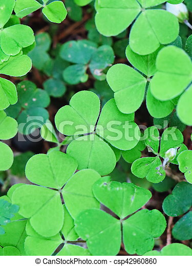 Three Leaf Clovers In A Forest