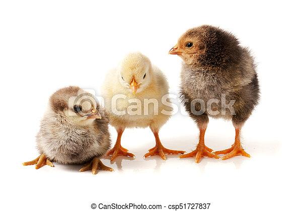 three little chicken isolated on white background - csp51727837
