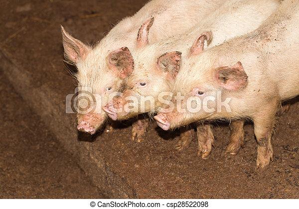 three little pigs on the farm - csp28522098