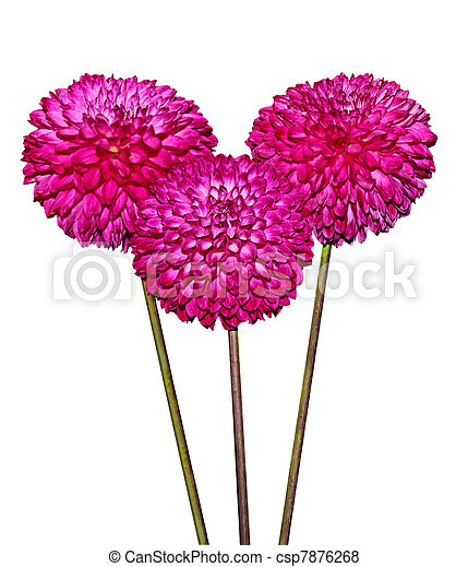 Three Magenta Dahlia Flowers - csp7876268