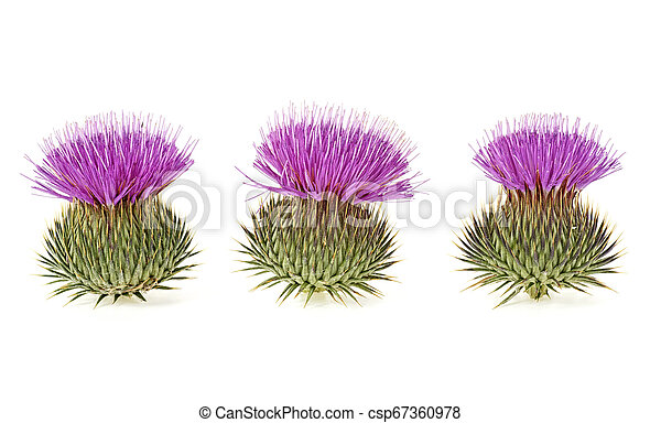 Three milk thistle flowers isolated on a white background - csp67360978