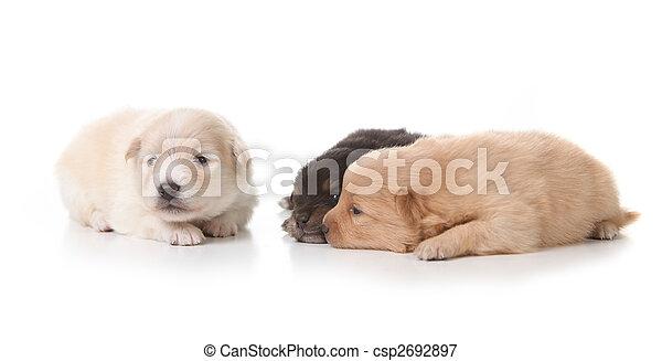 Three Pomeranian Puppies on White - csp2692897